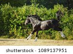 shire draft horse stallion runs ... | Shutterstock . vector #1089137951