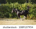 shire draft horse stallion runs ... | Shutterstock . vector #1089137954