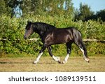 shire draft horse stallion in... | Shutterstock . vector #1089139511