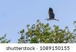 gray heron  ardea cinerea ... | Shutterstock . vector #1089150155