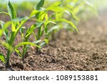 young green corn growing on the ... | Shutterstock . vector #1089153881