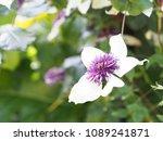 clematis florida 'sieboldii'   Shutterstock . vector #1089241871