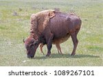 Bison Buffalo Cow Mother With...