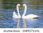 swan steam on the water surface | Shutterstock . vector #1089272141