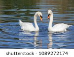 swan steam on the water surface | Shutterstock . vector #1089272174