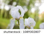 Blossoming White Iris In A...