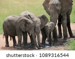 african elephant family with... | Shutterstock . vector #1089316544