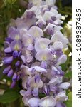 Small photo of Close up of a wisteria blossom as known as blauwe regen at Holland the Netherlands somewhere nearby Utrecht