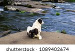 dog resting on a stone looking... | Shutterstock . vector #1089402674