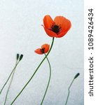 Small photo of Beautiful red poppy flower: wild, joyful, indomitable and seemingly fragile.