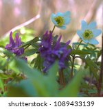 Small photo of Plants ephemerides. Birthwort (Corydalis solida) photophilous mesophyte in light forests of all Europe combined with anemones. Flower on the background of typical biotope in Eastern Europe.