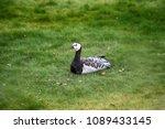 barnacle goose resting on city... | Shutterstock . vector #1089433145