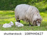 mother sheep with two white...   Shutterstock . vector #1089440627
