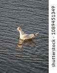 winter plumage black headed... | Shutterstock . vector #1089451349