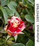Small photo of close up of a rosebud with many shades
