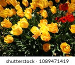 yellow tulips and red tulips | Shutterstock . vector #1089471419