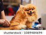 pomeranian dog with red hair... | Shutterstock . vector #1089484694