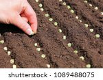 Sowing A Pea Seed By Hand Into...