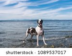 Harlequin Great Dane Dog...
