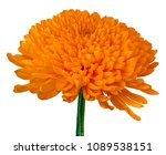 A Orange Chrysanthemum Flower...