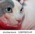 cute hairless sphinx cat | Shutterstock . vector #1089585149