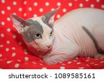 cute hairless sphinx cat | Shutterstock . vector #1089585161