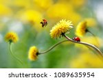Two ladybugs on a yellow spring ...