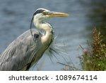 Portrait Of A Blue Heron