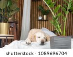 sleeping golden retriever pure... | Shutterstock . vector #1089696704