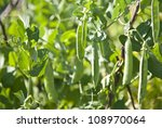 Fresh Bean Plant Growing In The ...