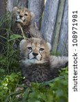 'cheetah Cubs Looking'