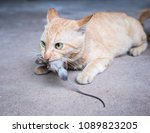 Cat Carrying A Mouse In The...
