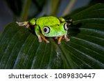 lemur leaf frog