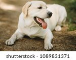 funny dog labrador with with... | Shutterstock . vector #1089831371