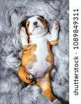 portrait of little english...   Shutterstock . vector #1089849311