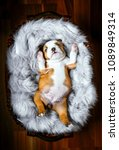 little bulldog puppy in the...   Shutterstock . vector #1089849314