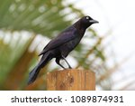 one florida native black bird... | Shutterstock . vector #1089874931