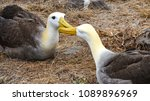waved albatross  also known as... | Shutterstock . vector #1089896969