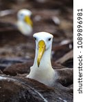 waved albatross  also known as... | Shutterstock . vector #1089896981
