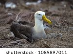 waved albatross  also known as... | Shutterstock . vector #1089897011