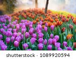 colorful tulips flowers...   Shutterstock . vector #1089920594