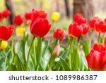 tulips in spring   Shutterstock . vector #1089986387