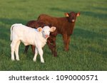 two young calves in the pasture ... | Shutterstock . vector #1090000571