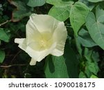 the solitary creamy yellow... | Shutterstock . vector #1090018175