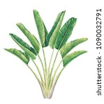 traveler's palm illustration ... | Shutterstock . vector #1090032791