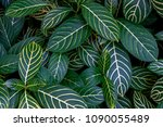 green leaves with yellow veins... | Shutterstock . vector #1090055489