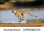 cheetah running at full speed... | Shutterstock . vector #1090088234