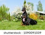 couple of big black doberman... | Shutterstock . vector #1090091039
