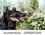 couple of big black doberman... | Shutterstock . vector #1090091045