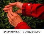 Hands Holding A Six Leaf Clove...
